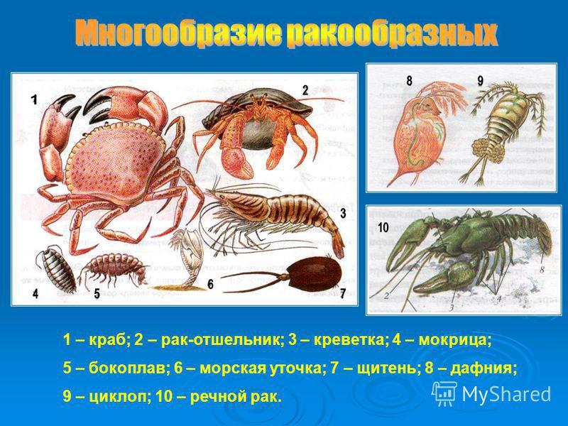1 – краб; 2 – рак-отшельник; 3 – креветка; 4 – мокрица; 5 – бокоплав; 6 – морская уточка; 7 – щитень; 8 – дафния; 9 – циклоп; 10 – речной рак.