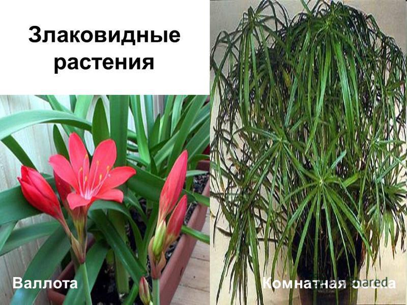 Валлота Комнатная осока Злаковидные растения