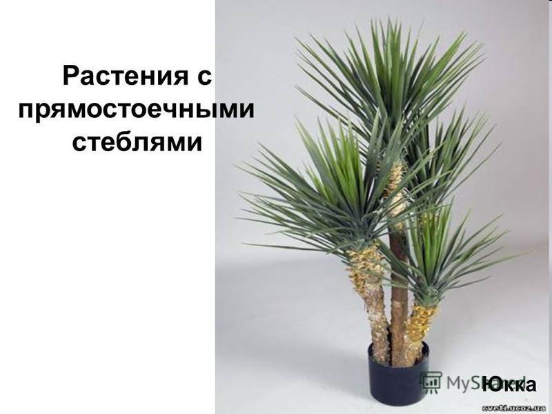 Юкка Растения с прямостоечными стеблями