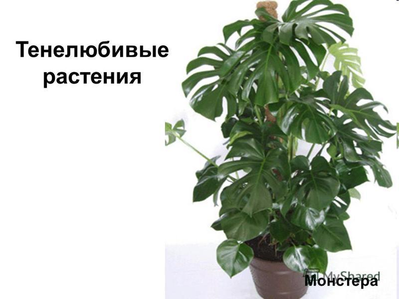 Монстера Тенелюбивые растения