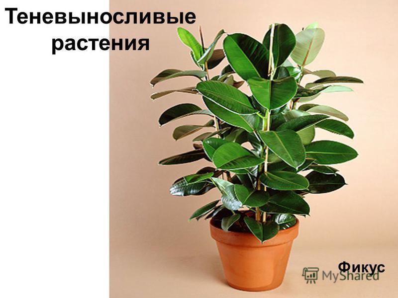 Фикус Теневыносливые растения