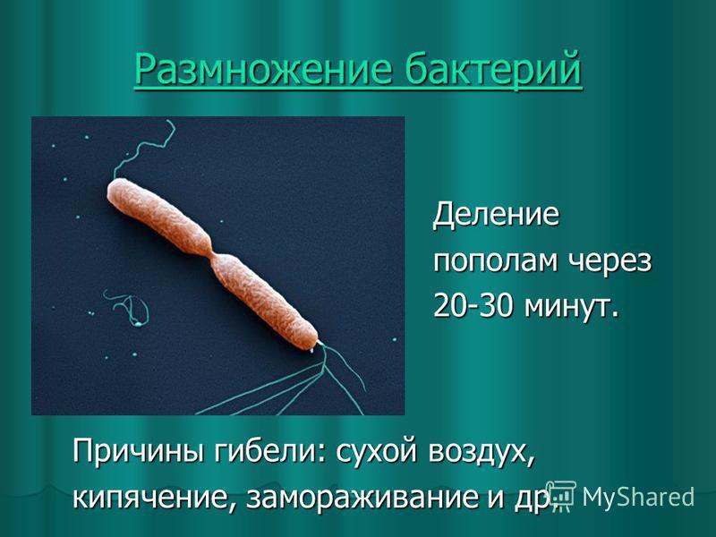 Размножение бактерий Размножение бактерий Причины гибели: сухой воздух, кипячение, замораживание и др. Деление пополам через 20-30 минут.
