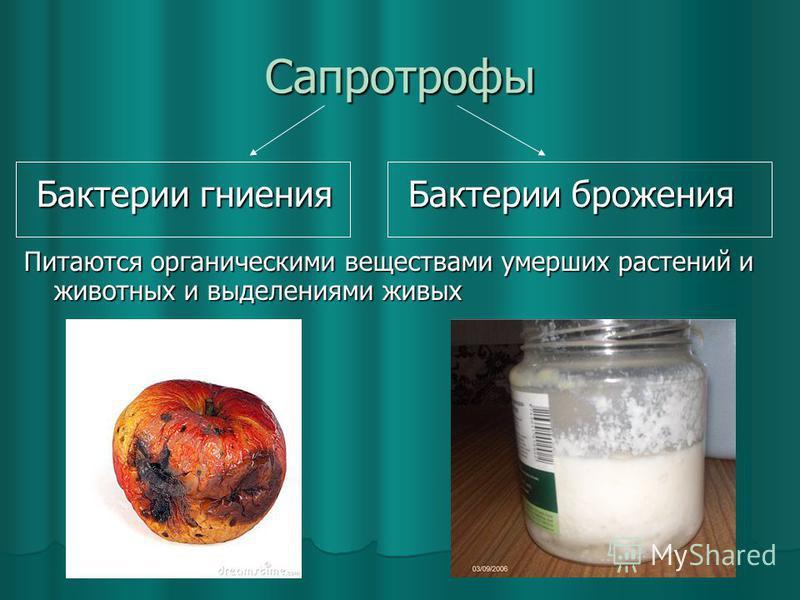 Сапротрофы Питаются органическими веществами умерших растений и животных и выделениями живых Бактерии гниения Бактерии брожения