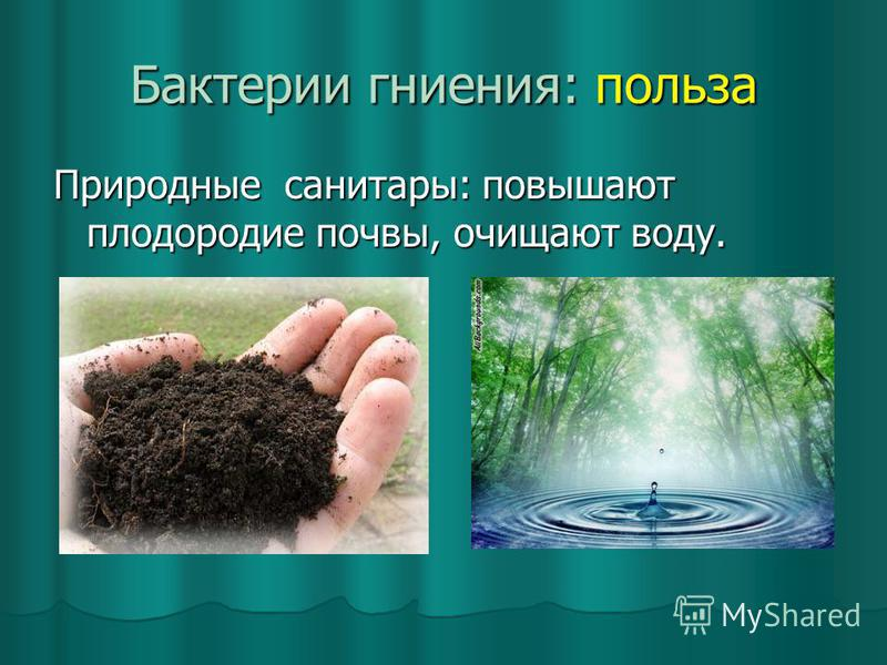 Бактерии гниения: польза Природные санитары: повышают плодородие почвы, очищают воду.