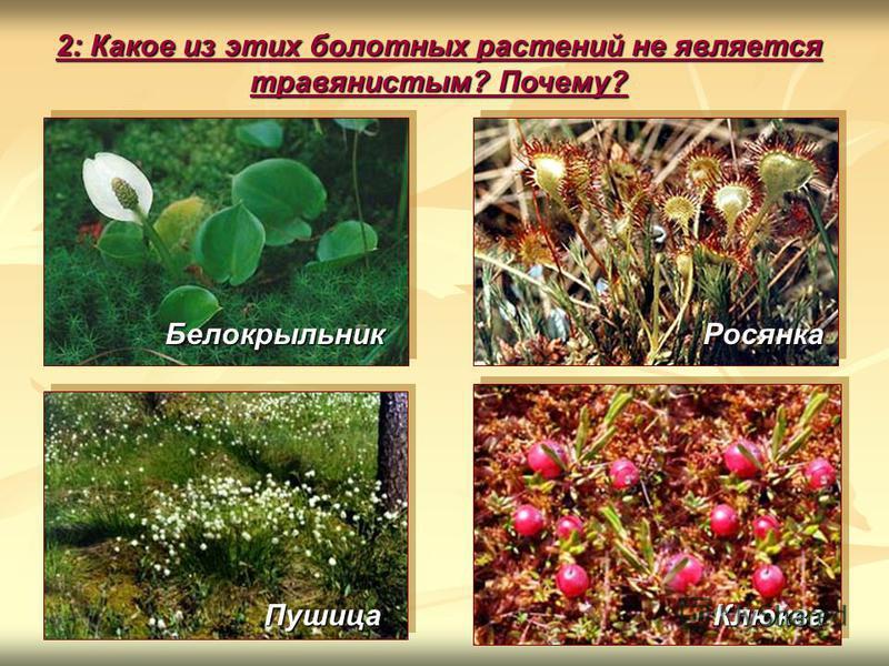 2: Какое из этих болотных растений не является травянистым? Почему? Росянка Белокрыльник Клюква Пушица