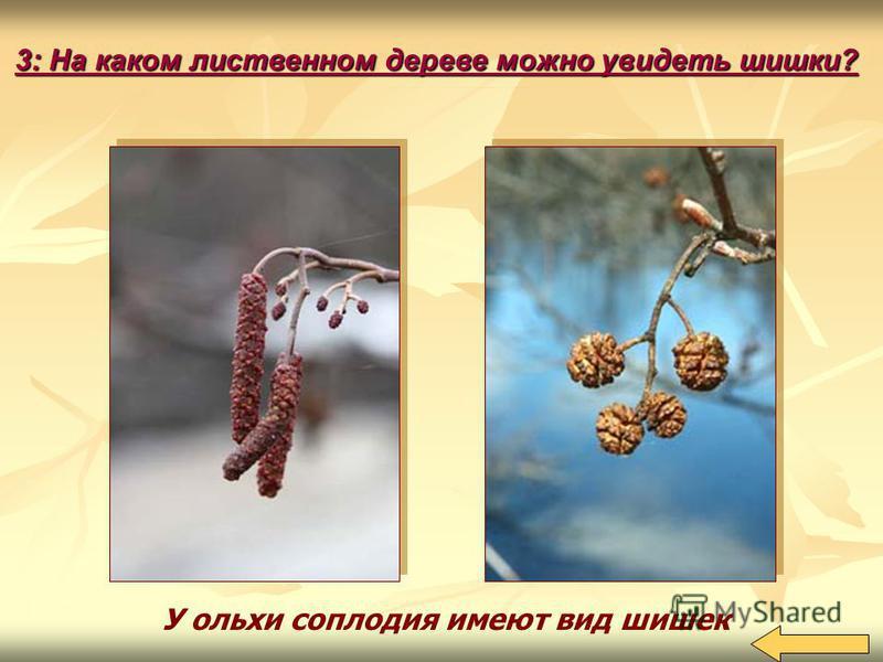 У ольхи соплодия имеют вид шишек 3: На каком лиственном дереве можно увидеть шишки?