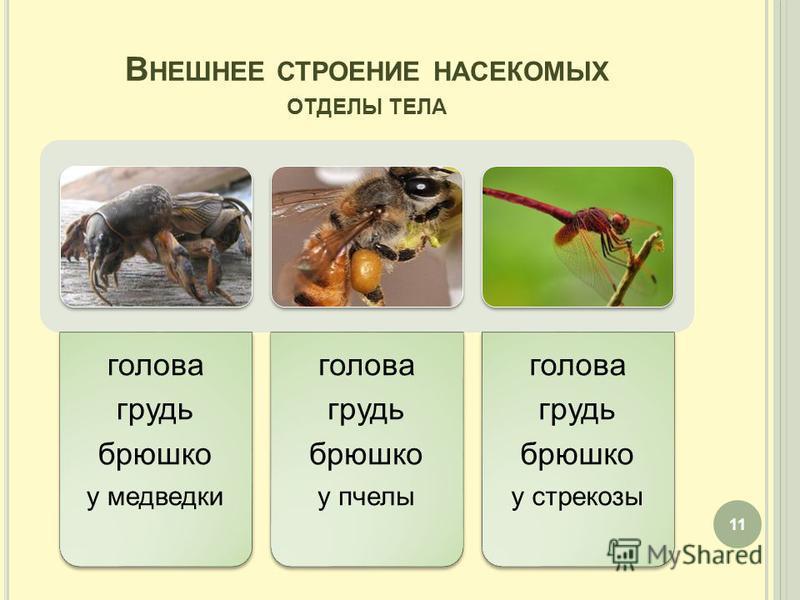 В НЕШНЕЕ СТРОЕНИЕ НАСЕКОМЫХ ОТДЕЛЫ ТЕЛА голова грудь брюшко у медведки голова грудь брюшко у пчелы голова грудь брюшко у стрекозы 11