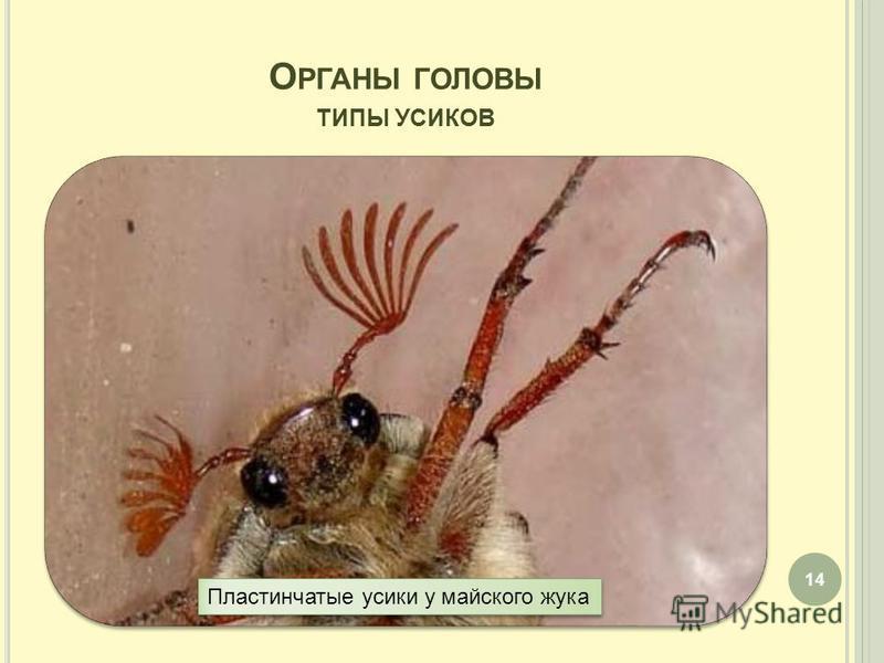О РГАНЫ ГОЛОВЫ ТИПЫ УСИКОВ 14 Пластинчатые усики у майского жука