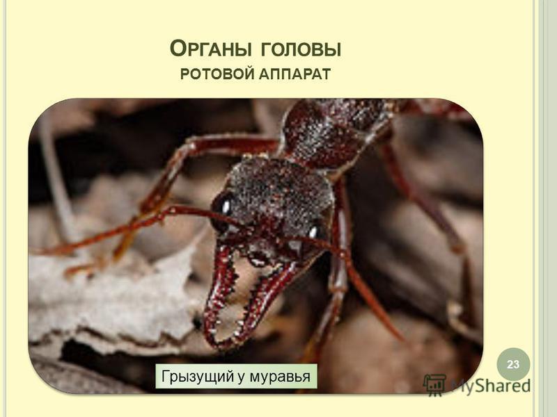 О РГАНЫ ГОЛОВЫ РОТОВОЙ АППАРАТ 23 Грызущий у муравья