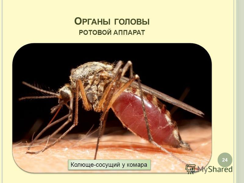 О РГАНЫ ГОЛОВЫ РОТОВОЙ АППАРАТ 24 Колюще-сосущий у комара