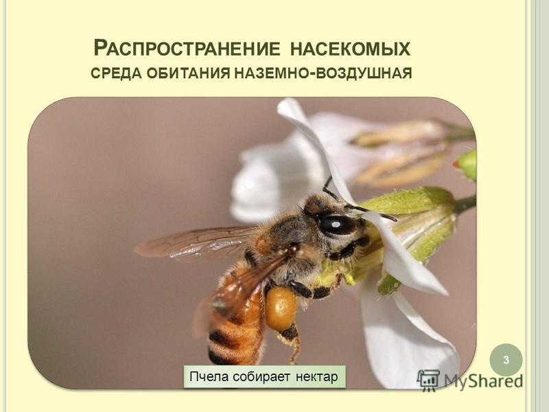 Р АСПРОСТРАНЕНИЕ НАСЕКОМЫХ СРЕДА ОБИТАНИЯ НАЗЕМНО - ВОЗДУШНАЯ 3 Пчела собирает нектар