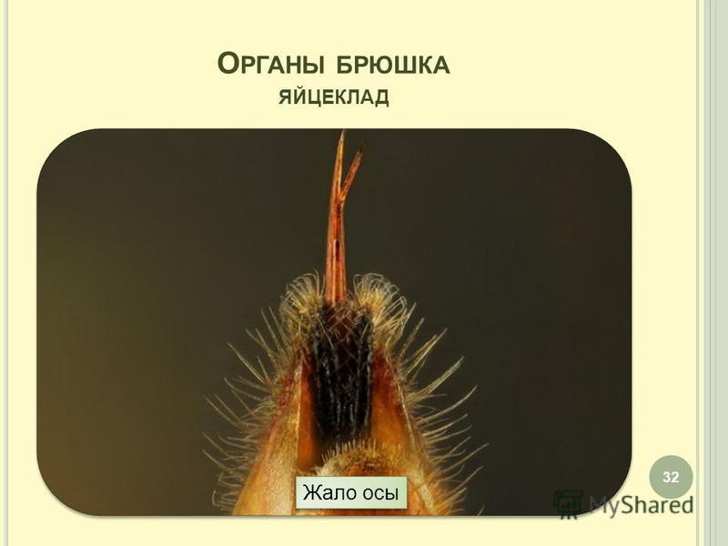 О РГАНЫ БРЮШКА ЯЙЦЕКЛАД 32 Жало осы