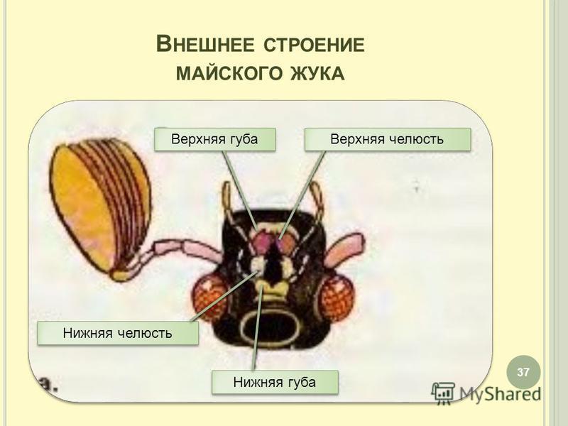 В НЕШНЕЕ СТРОЕНИЕ МАЙСКОГО ЖУКА 37 Верхняя губа Верхняя челюсть Нижняя челюсть Нижняя губа