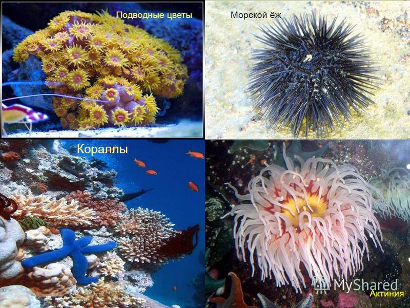 Морской ёж Подводные цветы Актиния Кораллы
