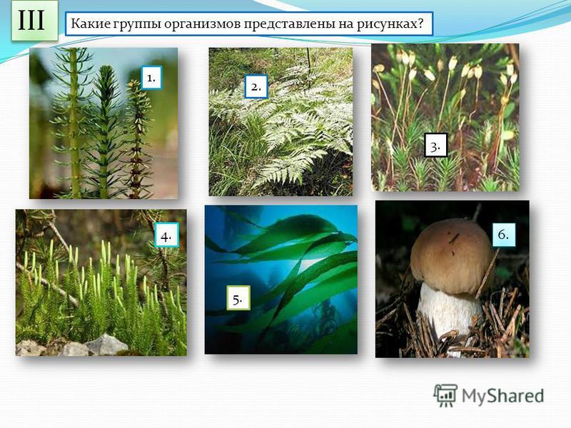 Какие группы организмов представлены на рисунках? 1. 2. 3. 4. 5. 6. III