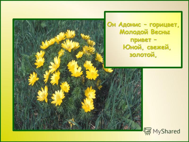 Он Адонис – горицвет, Молодой Весны привет – Молодой Весны привет – Юной, свежей, золотой, Юной, свежей, золотой,