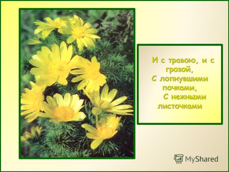 И с травою, и с грозой, И с травою, и с грозой, С лопнувшими почками, С нежными листочками С нежными листочками