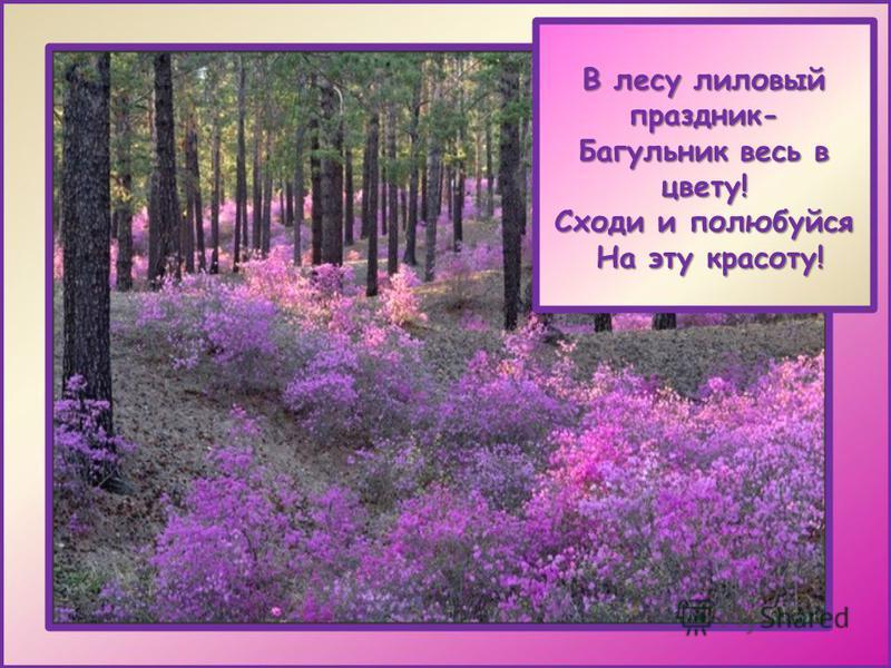 В лесу лиловый праздник- Багульник весь в цвету! Сходи и полюбуйся На эту красоту! На эту красоту!