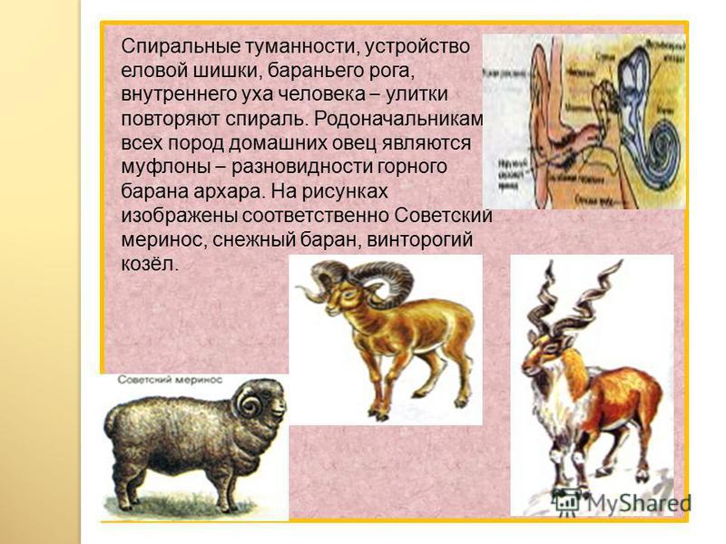 Спиральные туманности, устройство еловой шишки, бараньего рога, внутреннего уха человека – улитки повторяют спираль. Родоначальниками всех пород домашних овец являются муфлоны – разновидности горного барана архара. На рисунках изображены соответствен
