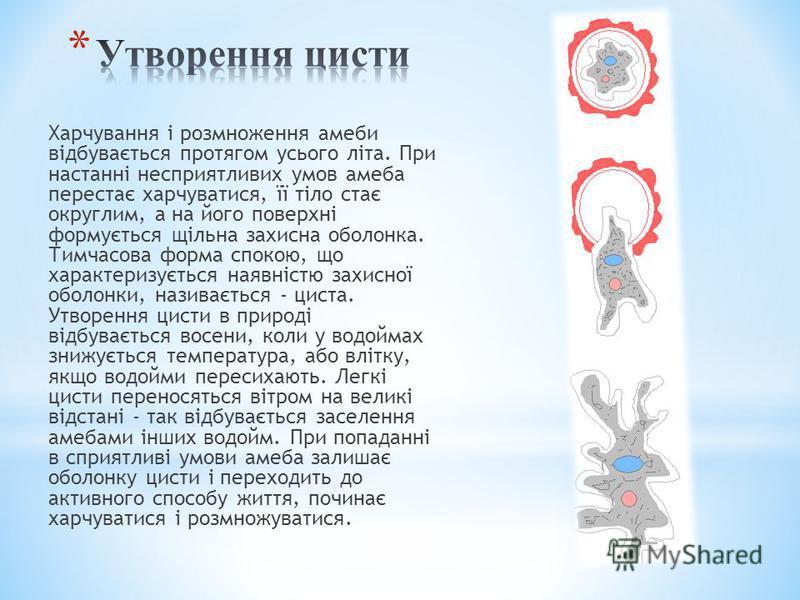Харчування і розмноження амеби відбувається протягом усього літа. При настанні несприятливих умов амеба перестає харчуватися, її тіло стає округлим, а на його поверхні формується щільна захисна оболонка. Тимчасова форма спокою, що характеризується на
