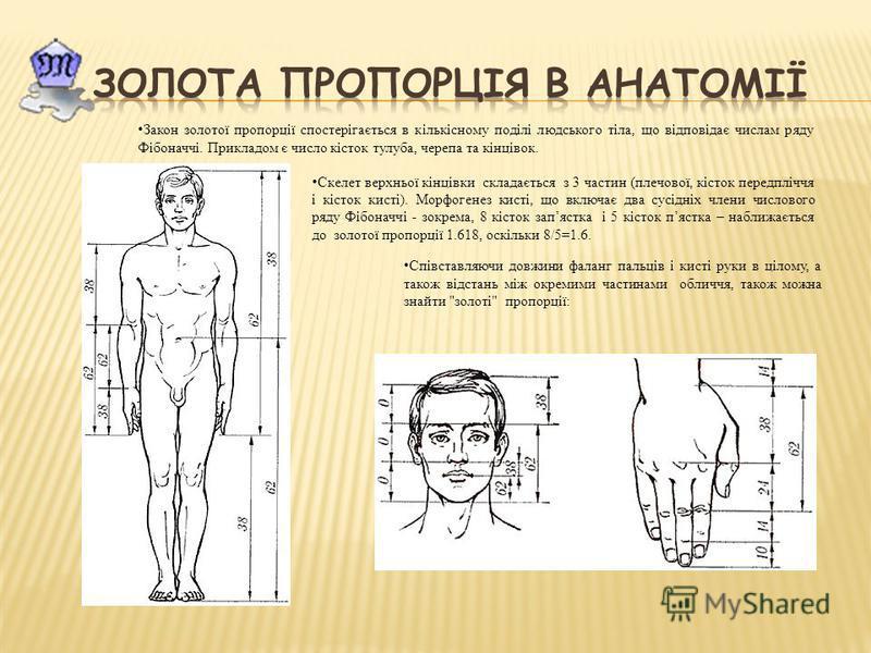 Закон золотої пропорції спостерігається в кількісному поділі людського тіла, що відповідає числам ряду Фібоначчі. Прикладом є число кісток тулуба, черепа та кінцівок. Скелет верхньої кінцівки складається з 3 частин (плечової, кісток передпліччя і кіс
