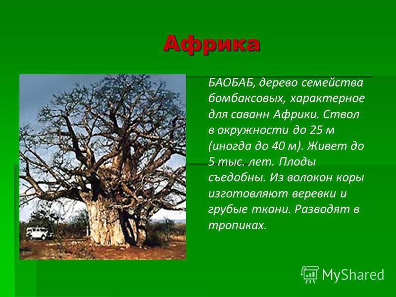 Африка БАОБАБ, дерево семейства бомбаксовых, характерное для саванн Африки. Ствол в окружности до 25 м (иногда до 40 м). Живет до 5 тыс. лет. Плоды съедобны. Из волокон коры изготовляют веревки и грубые ткани. Разводят в тропиках.