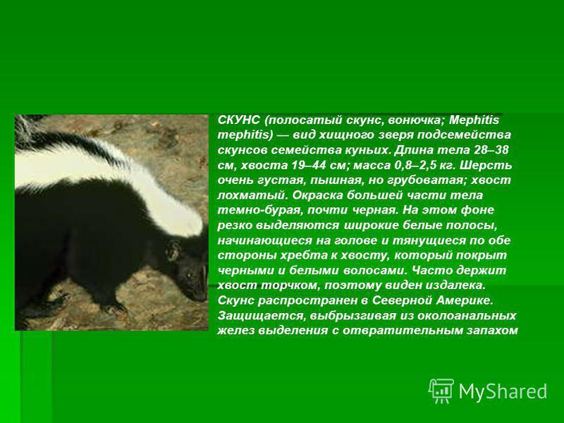 СКУНС (полосатый скунс, вонючка; Mephitis mephitis) вид хищного зверя подсемейства скунсов семейства куньих. Длина тела 28–38 см, хвоста 19–44 см; масса 0,8–2,5 кг. Шерсть очень густая, пышная, но грубоватая; хвост лохматый. Окраска большей части тел