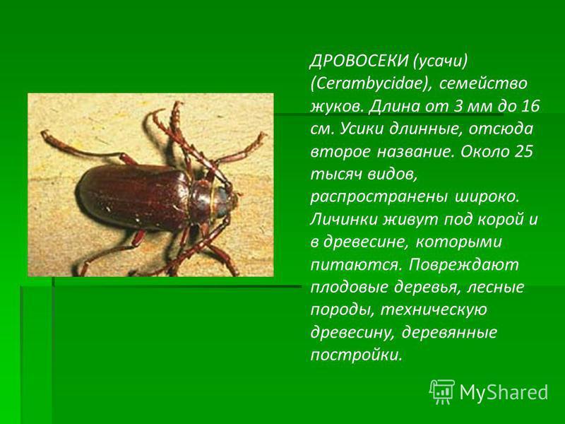 ДРОВОСЕКИ (усачи) (Cerambycidae), семейство жуков. Длина от 3 мм до 16 см. Усики длинные, отсюда второе название. Около 25 тысяч видов, распространены широко. Личинки живут под корой и в древесине, которыми питаются. Повреждают плодовые деревья, лесн