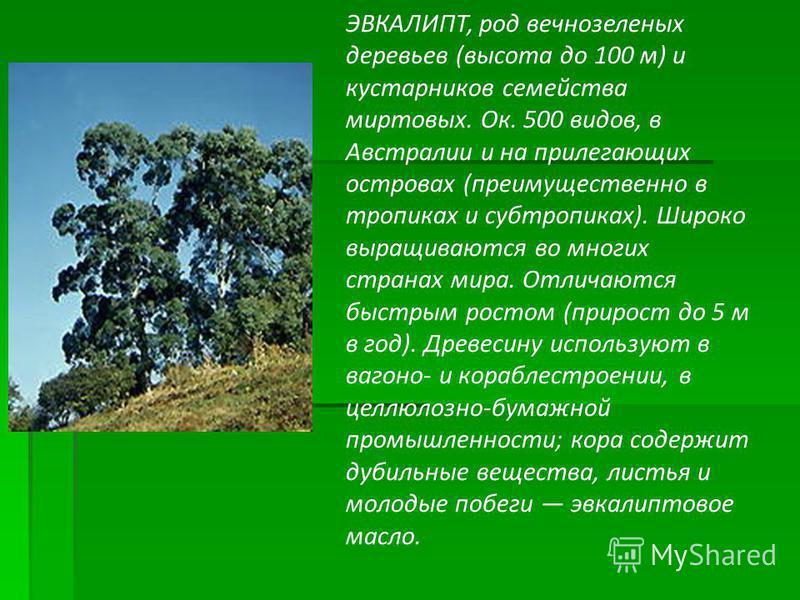 ЭВКАЛИПТ, род вечнозеленых деревьев (высота до 100 м) и кустарников семейства миртовых. Ок. 500 видов, в Австралии и на прилегающих островах (преимущественно в тропиках и субтропиках). Широко выращиваются во многих странах мира. Отличаются быстрым ро