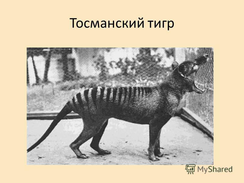 Тосманский тигр