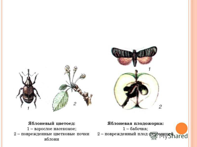 Яблоневый цветоед: 1 – взрослое насекомое; 2 – поврежденные цветковые почки яблони Яблоневая плодожорка: 1 – бабочка; 2 – поврежденный плод с гусеницей