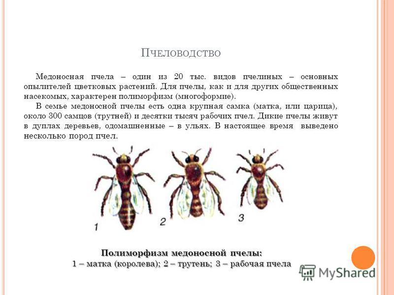 П ЧЕЛОВОДСТВО Медоносная пчела – один из 20 тыс. видов пчелиных – основных опылителей цветковых растений. Для пчелы, как и для других общественных насекомых, характерен полиморфизм (многоформие). В семье медоносной пчелы есть одна крупная самка (матк