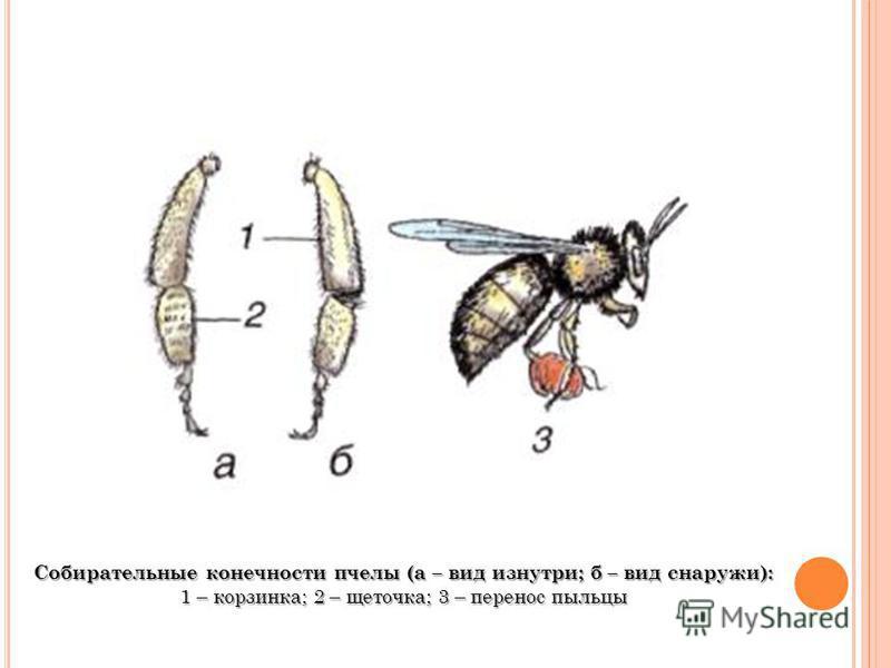 Собирательные конечности пчелы (а – вид изнутри; б – вид снаружи): 1 – корзинка; 2 – щеточка; 3 – перенос пыльцы
