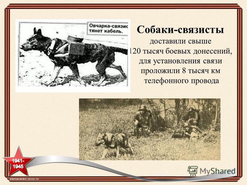 Собаки-связисты доставили свыше 120 тысяч боевых донесений, для установления связи проложили 8 тысяч км телефонного провода