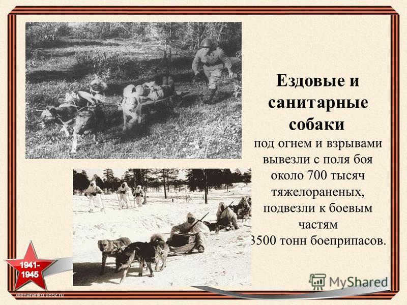 Ездовые и санитарные собаки под огнем и взрывами вывезли с поля боя около 700 тысяч тяжелораненых, подвезли к боевым частям 3500 тонн боеприпасов.