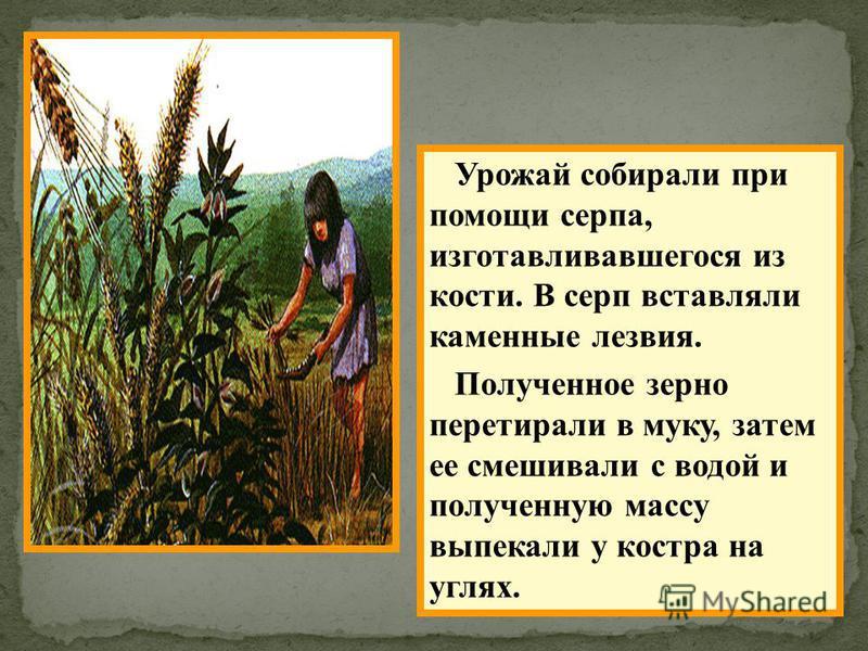 Урожай собирали при помощи серпа, изготавливавшегося из кости. В серп вставляли каменные лезвия. Полученное зерно перетирали в муку, затем ее смешивали с водой и полученную массу выпекали у костра на углях.