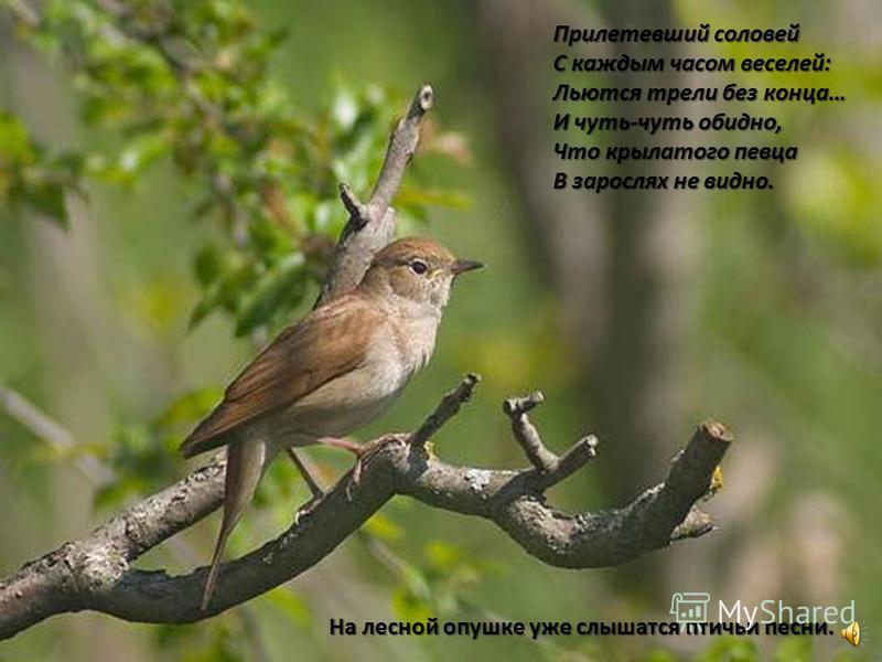 Прилетевший соловей С каждым часом веселей: Льются трели без конца… И чуть-чуть обидно, Что крылатого певца В зарослях не видно. На лесной опушке уже слышатся птичьи песни.
