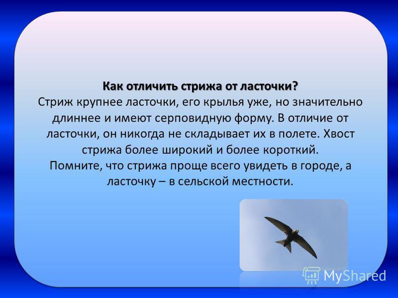 Как отличить стрижа от ласточки? Стриж крупнее ласточки, его крылья уже, но значительно длиннее и имеют серповидную форму. В отличие от ласточки, он никогда не складывает их в полете. Хвост стрижа более широкий и более короткий. Помните, что стрижа п