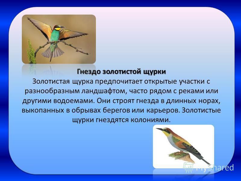 Гнездо золотистой щурки Золотистая щурка предпочитает открытые участки с разнообразным ландшафтом, часто рядом с реками или другими водоемами. Они строят гнезда в длинных норах, выкопанных в обрывах берегов или карьеров. Золотистые щурки гнездятся ко