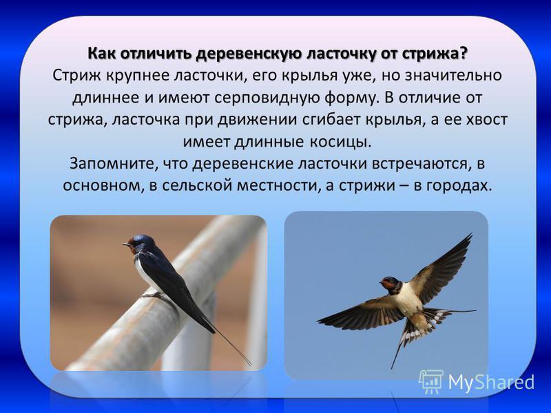 Как отличить деревенскую ласточку от стрижа? Стриж крупнее ласточки, его крылья уже, но значительно длиннее и имеют серповидную форму. В отличие от стрижа, ласточка при движении сгибает крылья, а ее хвост имеет длинные косицы. Запомните, что деревенс