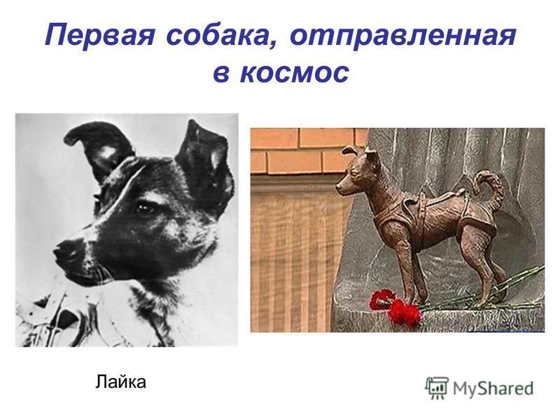 Первая собака, отправленная в космос Лайка