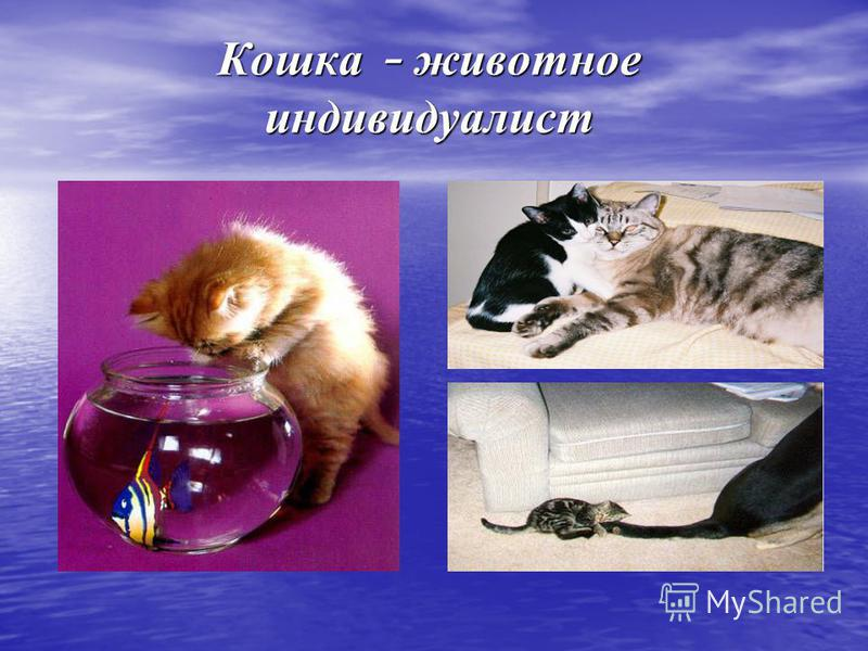 Кошка – животное индивидуалист Кошка – животное индивидуалист