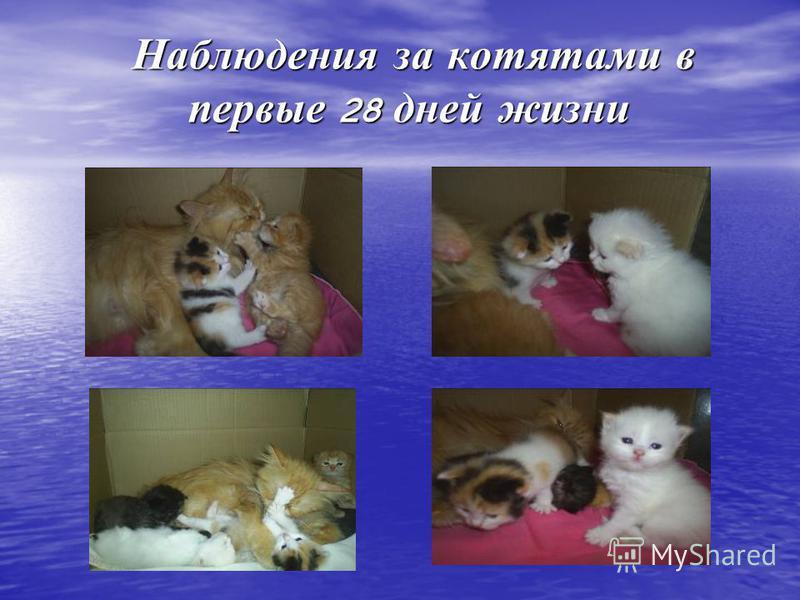 Наблюдения за котятами в первые 28 дней жизни Наблюдения за котятами в первые 28 дней жизни