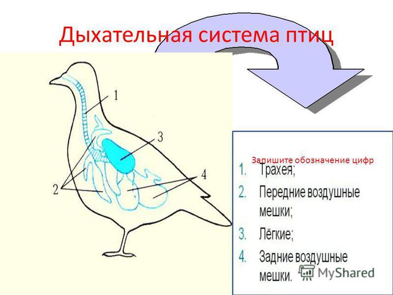 Дыхательная система птиц Запишите обозначение цифр