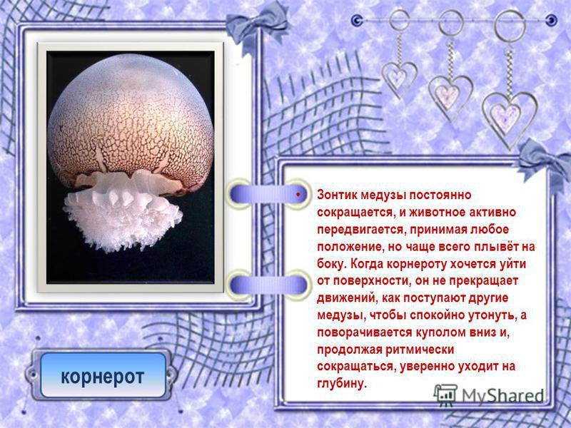 Зонтик медузы постоянно сокращается, и животное активно передвигается, принимая любое положение, но чаще всего плывёт на боку. Когда корнероту хочется уйти от поверхности, он не прекращает движений, как поступают другие медузы, чтобы спокойно утонуть