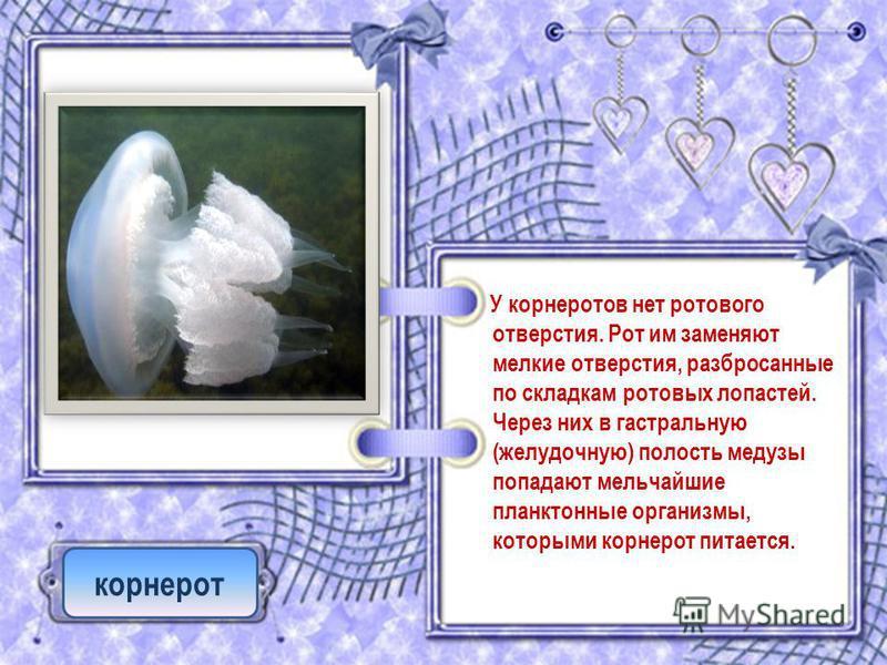 У корне ростов нет ротового отверстия. Рот им заменяют мелкие отверстия, разбросанные по складкам ротовых лопастей. Через них в гастральную (желудочную) полость медузы попадают мельчайшие планктонные организмы, которыми корнерот питается. корнерот