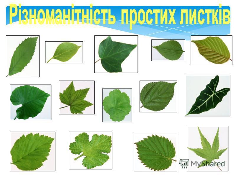 Прості листки мають на черешку лише одну листкову пластинку.