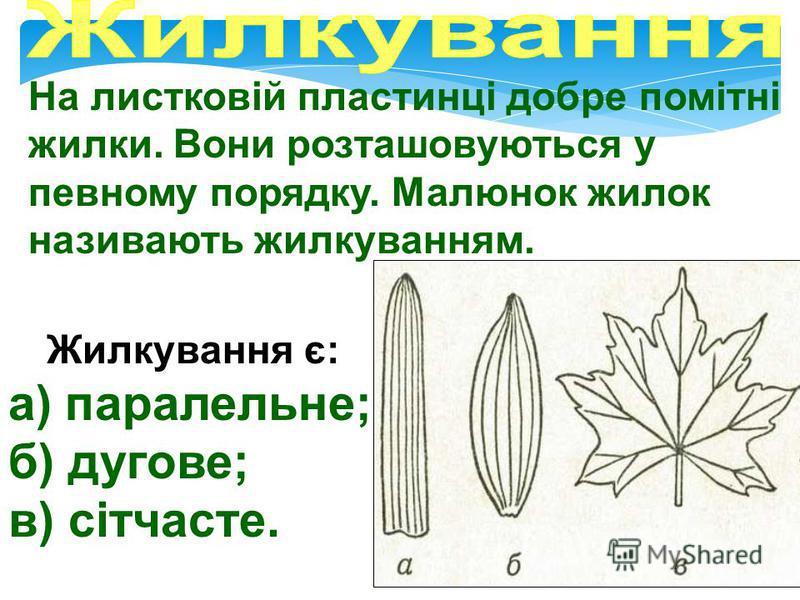 Зовні листки різних рослин відрізняються: І - формою листкової пластинки; ІІ - краєм листкової пластинки; ІІІ - формою верхівки листка; IV - формою основи листка.