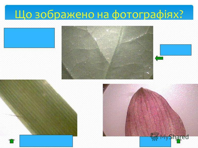 Зєднай стрілкою: встанови відповідність Жилкування Функції листка Видозміни колючки, вусики, хижі листки паралельне, сітчасте, дугове транспірація, фотосинтез, дихання