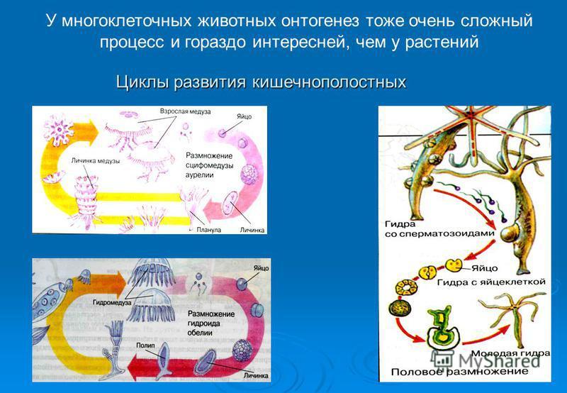 У многоклеточных животных онтогенез тоже очень сложный процесс и гораздо интересней, чем у растений Циклы развития кишечнополостных
